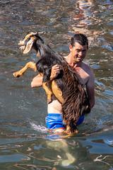 2018-06-24 Ziegenbad in Puerto de la Cruz (19) - Das Ziegenbad (Baño de Cabras) ist eine alte Tradition der Ureinwohner der Kanaren (Guanchen). Es wird jedes Jahr am 24. Juni in Puerto de la Cruz auf Teneriffa veranstaltet. Ziegenherden aus dem Umland wer (mike.bulter) Tags: animal bañodecabras canarias canaries canaryislands esp espana goat hafen kanaren kanarischeinseln puertodelacruz spain spanien tenerife teneriffa tier tradition ziege ziegenbad ziegenbaden ziegenhirte baño de las cabras