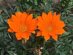 Two together (Sockenhummel) Tags: blumen zwillinge twins flowers orange gerbera iphone blüten tempelgarten garten garden park neuruppin