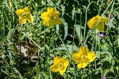 Montagne en fleurs (Ariège) (PierreG_09) Tags: ariège pyrénées pirineos couserans flor flore fleur plante lacore pelouse montagne pavotdupaysdegalles pavotjaune méconopsidedupaysdegalles papavercambricum occitanie midipyrénées