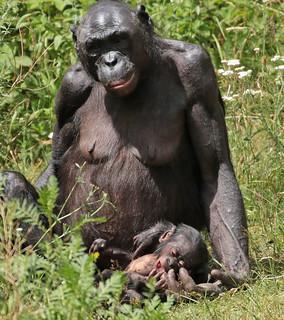 bonobo apenheul JN6A5268