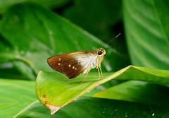 Skipper butterfly --- Saliana longirostris (creaturesnapper) Tags: xandariresort costarica butterflies lepidoptera skippers hesperiidae salianalongirostris