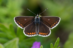 Northern Brown Argus (form salmacis) (Tim Melling) Tags: aricia artaxerxes salmacis county durham northern brown argus butterfly timmelling
