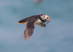 Puffin at Skomer flying in with food