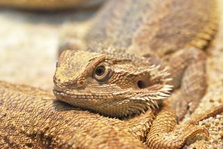 bradata agama (Pogona vitticeps / Central Bearded Dragon / Streifenköpfige Bartagame)