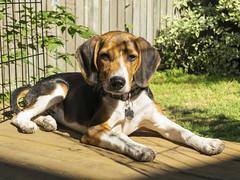 Beagle in the sun (GBaker63) Tags: dog puppy beagle canon powershots100