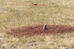 Prairie dogs am Windcave NP (sgplewka) Tags: animals usa 2017 prairiedog windcavenp tiere urlaub hotsprings southdakota us