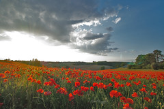 @2SDQH1129 (leygrandavid) Tags: stvincent lespinasse 82400 coquelicot champ soleil couchant rouge fleur