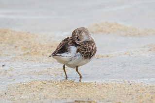 Semipalmated Plover 500_4644.jpg