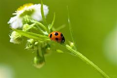 テントウムシ Ladybird (takapata) Tags: sony sel90m28g ilce7m2 macro nature flower ladybird insect