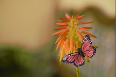 Almost Real (Joe Son Nguyen) Tags: butterfly succulent flower lester dine 105mm f28 macro monarch