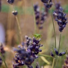 Common Green Shieldbug (2) (GATACA1952) Tags: commongreenshieldbug palomenaprasina pentatomidae insect shieldbug bug wildlife garden lavender summer macro outdoor england