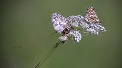 Compartiendo lecho (msfleon) Tags: mariposa lepidoptero lepidoptera leonesp montañacentralleonesa leon españa spain bicho insecto