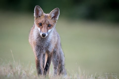Regards croisés (Fabien Serres) Tags: mammifère renardroux renardcommun vulpesvulpes