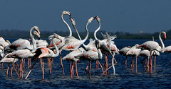 Flamingos at Pulicot Lake in Andra Pradesh. (C) Rajashekar.H.K. (rajashekarhk) Tags: flamingos photography pulicotlake andhrapradesh animal beauty blue birds birdlife birdphotography nikon nature naturephotography natural southindia sky migratarybirds birdsantuary rajashekar red breeding