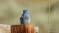 Mountain Bluebird (m) (Bob Gunderson) Tags: birds bluebirds bodiestatepark california monocounty mountainbluebird northerncalifornia sialiacurrucoides sierras thrushes