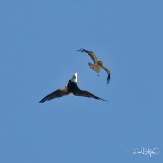 Swainsons Hawk Harasses Bald Eagle