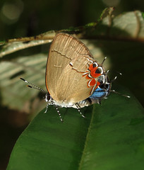 Calycopis pisis male (Over 4 million views!) Tags: butterfly calycopispisis lycaenidae panama butterflies insect