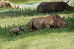 Mommy needs a nap (THoog) Tags: northcarolina zoo nczoo rhino rhinoceros baby babyrhino