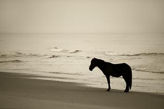 Corolla Beach Wild Stallion