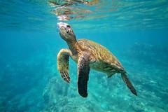 IMG_0218A (Aaron Lynton) Tags: maui hawaii underwater snorkel snorkeling diving dive canon 7d paradise blue turtle turtles seaturtle greenseaturtle hawaiiangreenseaturtle honoluabay lyntonproductions