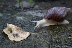 IMG_9230 (asun5) Tags: shandraw photograph snail ecology 2018 taiwan fuji pingtung rain 蝸牛 白玉蝸牛 生態攝影 canon m100 台灣 軟體動物科