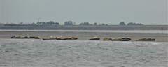 Seals on a bank south of Ameland, Wadden.nl (Alta alatis patent) Tags: wadden seals lowtide