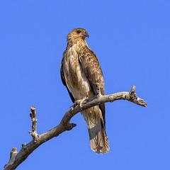 lagoon creek - whistling kite (Fat Burns ☮) Tags: whistlingkite haliastursphenurus kite raptor bird australianbird fauna australianfauna hawk nikond500 nikon200500mmf56eedvr lagooncreek barcaldine queensland australia nature outback outdoors