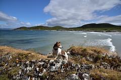 DSC_3287_00001 (Karantez vro) Tags: southern hebrides island scotland jack russell terrier dog hund chien