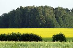 Raps õitseb (Jaan Keinaste) Tags: pentax k3 pentaxk3 eesti estonia loodus nature maastik landscape suvi summer raps kollane yellow brassicanapus