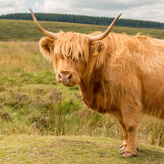 Highland Fringe (Keith in Exeter) Tags: highland cow animal breed hairy fringe horns farm moor dartmoor nationalpark forest landscape portrait