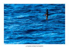 Flight to hope (http://www.jcfajardophotography.com/) Tags: animales aves baleares balearicshearwater balears birds calonectrisdiomedea corysshearwater eivissa fauna ibiza illesbalears islasbaleares naturaleza nature pardelabalear pardelacenicienta puffinusmauretanicus vidasalvaje wildlife santjosepdesatalaia españa es nikon nikond800 d800 nikonlenses nikonlens nikkor nikkorlens nikkorlenses 300mmf28 nikkor300mmf28 nikkor300mmf28vr edlenses ed edlens goldenring primelens prime primelenses balearicislands birding birdwatching bird birdwatcher birdlife birdsonflight birdinflight bif wild wildphotographer wildlifephotographer naturephotographer natureimages naturepics