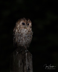 Tawny Owl (Ian howells wildlife photography) Tags: ianhowells ianhowellswildlifephotography nature naturephotography nationalgeographic night unitedkingdom canon canonuk wildlife wildlifephotography wales wild wildbird wildbirds tawnyowl tawny owl