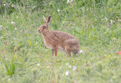 JWL5097  Brown Hare.. (jefflack Wildlife&Nature) Tags: brownhare hares hare animal animals mammal wildlife wildlifephotography jefflackphotography farmland fields grasslands countryside norfolk nature