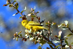 Yellow Warbler (Edhorton) Tags: spring mt ranch las vegas nevada wildlife yellow warbler