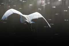 Grace (learnliveinspire) Tags: birder birds bird egret great wildlife nature earth grace beauty wings water pond natgeo animals