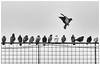 +1 (Tobias Dander) Tags: tobiasdander 1 pigeons birds fence blackandwhite bnw bw monochrome canond70