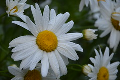 DSC_0105 (Kleinehobbyfotografie) Tags: flower flowers flowerphoto flowerpower pflanze foto fotografie fotos photo photograpy