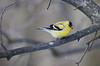 Lovely finch (AZ Imaging) Tags: clarington finch goldfinch bowmanville wildlife