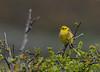 Yellowhammer IOW 23-04-2018-5439 (seandarcy2) Tags: bunting yellowhammer birds wildlife hand held iow uk westhighdown