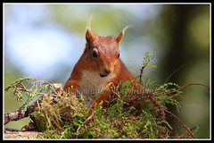 IMG_0163 Red Squirrel (Scotchjohnnie) Tags: redsquirrel sciurusvulgaris squirrel squirrelphotography mammal rodent nature naturephotography naturewildlifeandbirds wildlife wildlifephotography wildanimal wildandfree canon canoneos canon7dmkii canonef100400f4556lisiiusm scotchjohnnie