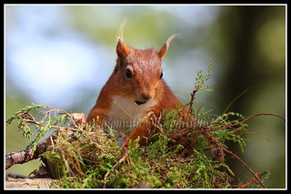 IMG_0163 Red Squirrel
