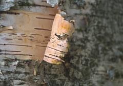 Tree of Life Coded Bark Strips (Orbmiser) Tags: olympus40150mmf4056r macro mirrorless olympus oregon portland m43rds tree bark texture peeling riverbank willametteriver
