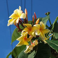 Key West (Florida) Trip 2017 0465Ri sq (edgarandron - Busy!) Tags: florida keys floridakeys keywest flower flowers plumeria frangipani