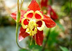 Pretty Columbine (Stanley Zimny (Thank You for 31 Million views)) Tags: flower bronx botanical garden ny macro red