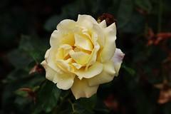 Rose (Hugo von Schreck) Tags: hugovonschreck rose blume flower blüte canoneos5dsr tamron28300mmf3563divcpzda010