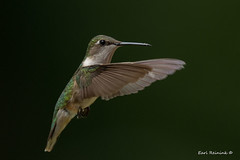Hummer (Earl Reinink) Tags: hummer hummingbird rubythroatedhummingbird earlreinink flying outside outdoors nature wildlife tuudhuidza