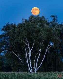 Buck Moon Over Birch