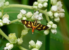 Orange-spotted Flower Moth --- Syngamia florella (creaturesnapper) Tags: moths crambidae lepidoptera micromoths sarapiqui costarica orangespottedflowermoth syngamiaflorella insects nationalmothweek