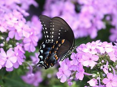 Spicebush on Summer phlox (Sam0hsong) Tags: butterflies phlox northcarolina