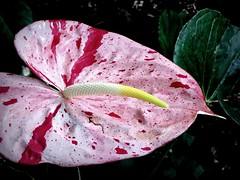 Anthurium hybrid (PeterCH51) Tags: hawaii hilo bigisland anthurium flamingoflower flamingoblume pink flower hybrid anthuriumhybrid tropical plant tropicalplant hawaiitropicalbotanicalgarden botanicalgarden usa america iphone peterch51